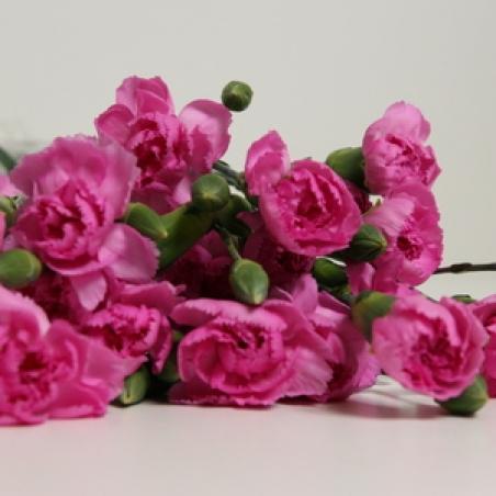 """Ziedi - Sīkziedu neļķe """"Goya"""""""