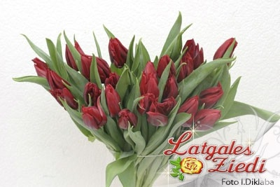 Tulpes 004