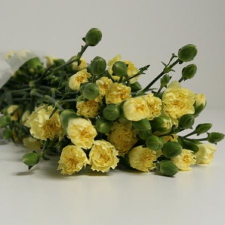 """Ziedi - Sīkziedu neļķe """"Geel cantate"""""""