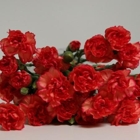 """Ziedi - Sīkziedu neļķe """"Nana"""""""