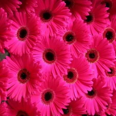 "Цветы - Гербера ""Serenarus"""